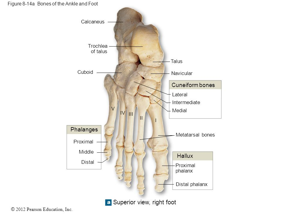 © 2012 Pearson Education, Inc. Figure 8-14a Bones of the Ankle and Foot Calcaneus Trochlea of talus Hallux Medial Intermediate Lateral Cuneiform bones