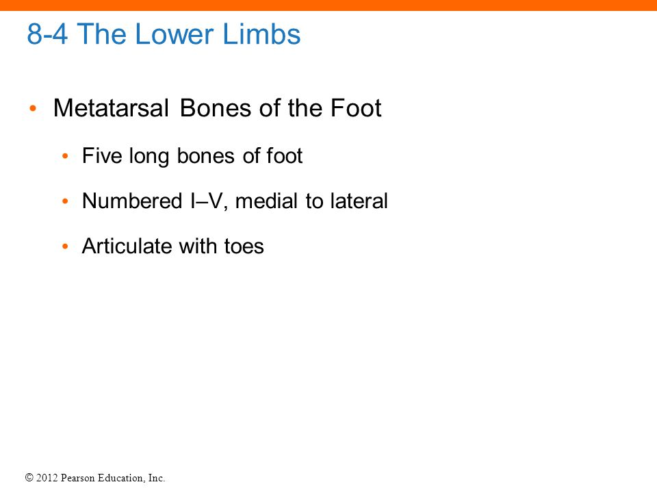 © 2012 Pearson Education, Inc. 8-4 The Lower Limbs Metatarsal Bones of the Foot Five long bones of foot Numbered I–V, medial to lateral Articulate wit