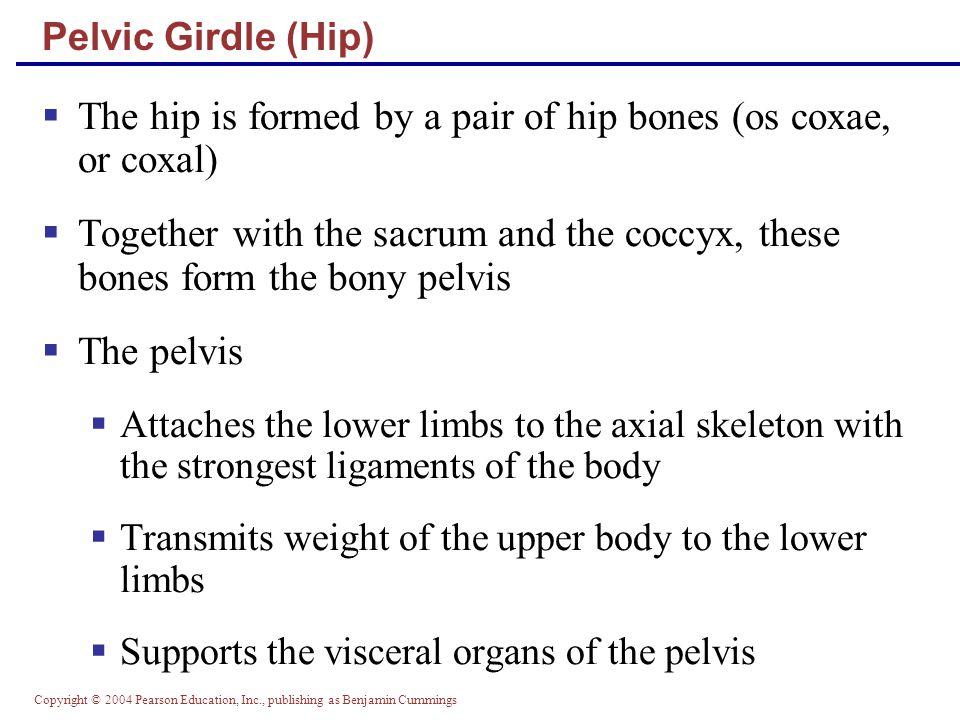 Copyright © 2004 Pearson Education, Inc., publishing as Benjamin Cummings Pelvic Girdle (Hip) Figure 7.27a