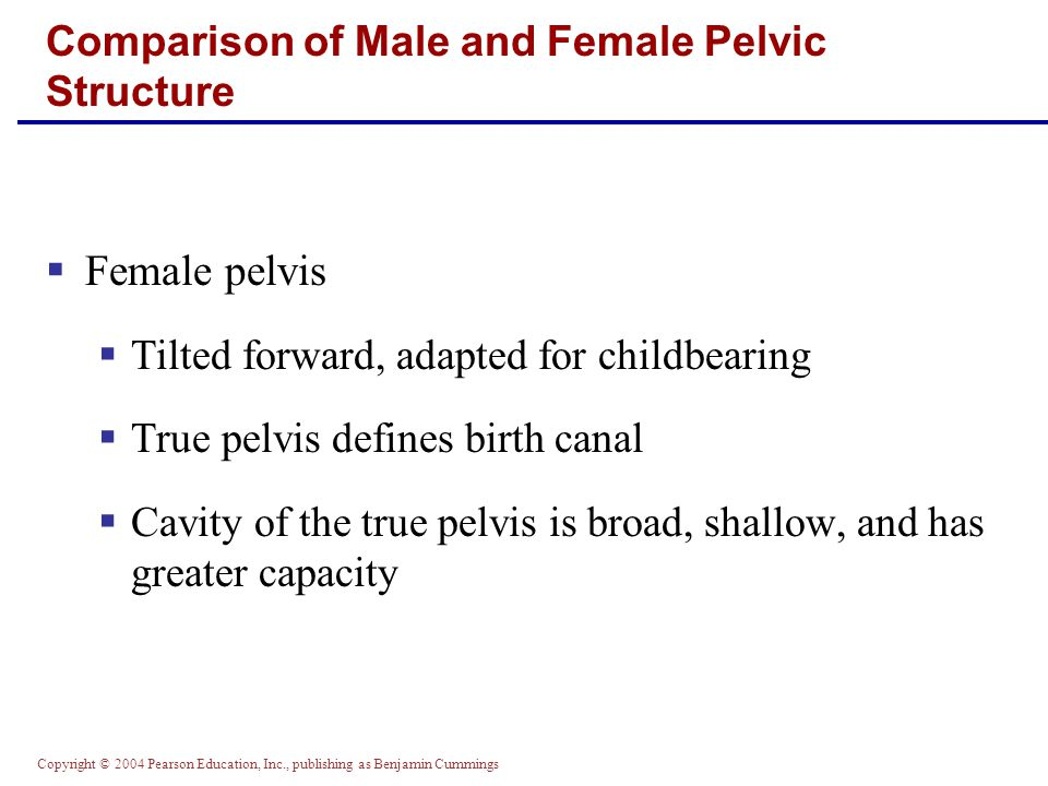Copyright © 2004 Pearson Education, Inc., publishing as Benjamin Cummings  Male pelvis  Tilted less forward  Adapted for support of heavier male build and stronger muscles  Cavity of true pelvis is narrow and deep Comparison of Male and Female Pelvic Structure