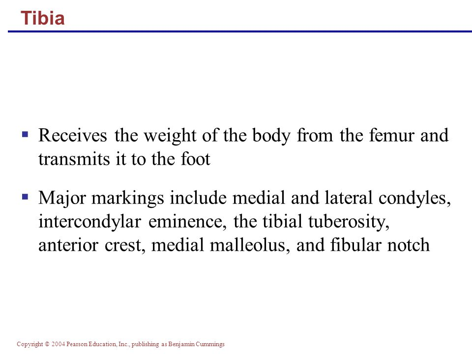 Copyright © 2004 Pearson Education, Inc., publishing as Benjamin Cummings Tibia and Fibula Figure 7.29