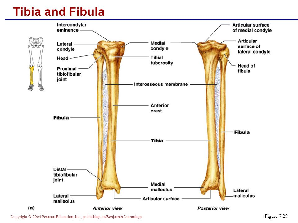 Copyright © 2004 Pearson Education, Inc., publishing as Benjamin Cummings Fibula  Sticklike bone with slightly expanded ends located laterally to the tibia  Major markings include the head and lateral malleolus