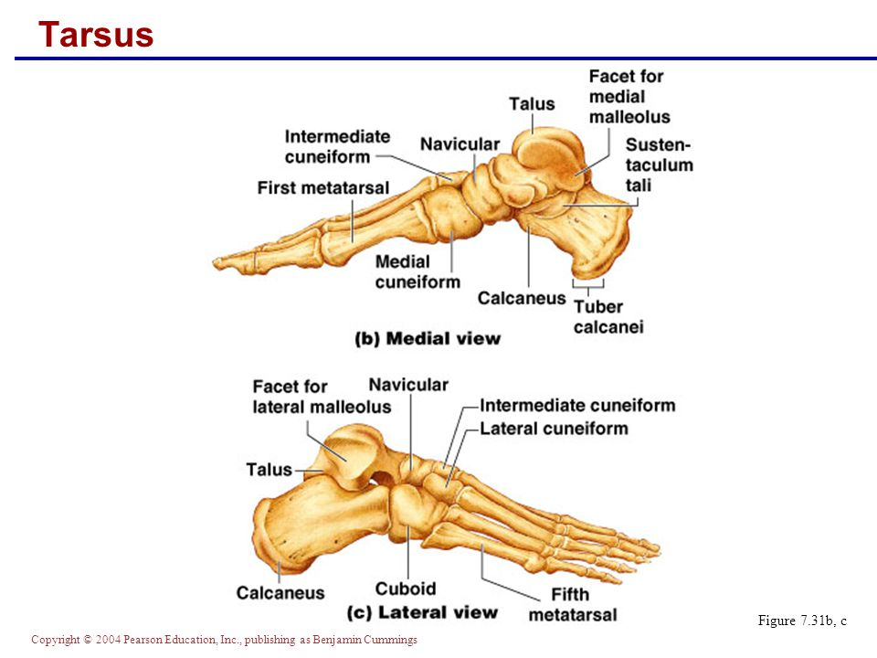 Copyright © 2004 Pearson Education, Inc., publishing as Benjamin Cummings Calcaneus  Forms the heel of the foot  Carries the talus on its superior surface  Point of attachment for the calcaneal (Achilles) tendon of the calf muscles