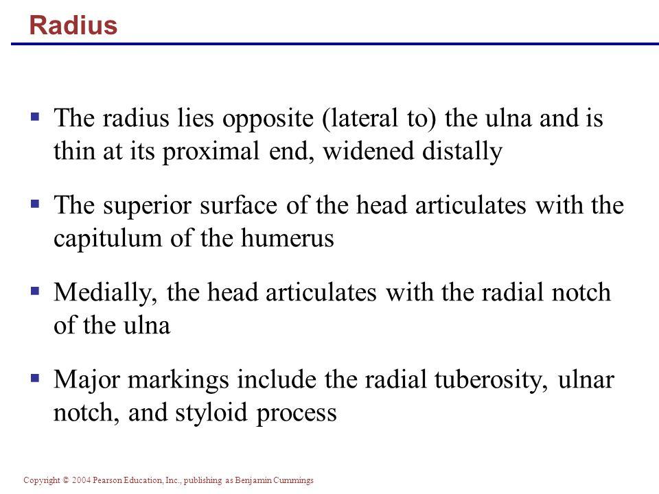 Copyright © 2004 Pearson Education, Inc., publishing as Benjamin Cummings Radius and Ulna Figure 7.24