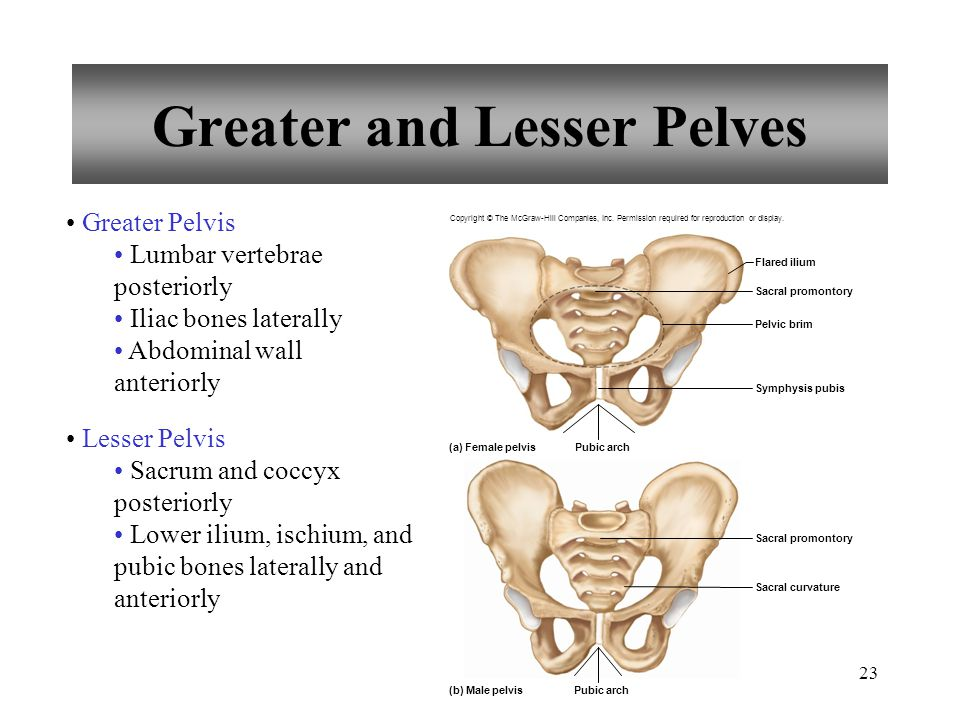 23 Greater and Lesser Pelves Greater Pelvis Lumbar vertebrae posteriorly Iliac bones laterally Abdominal wall anteriorly Lesser Pelvis Sacrum and cocc