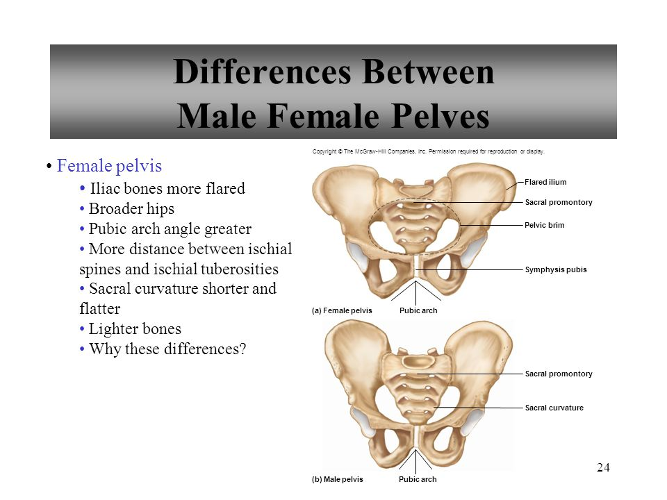24 Differences Between Male Female Pelves Female pelvis Iliac bones more flared Broader hips Pubic arch angle greater More distance between ischial sp