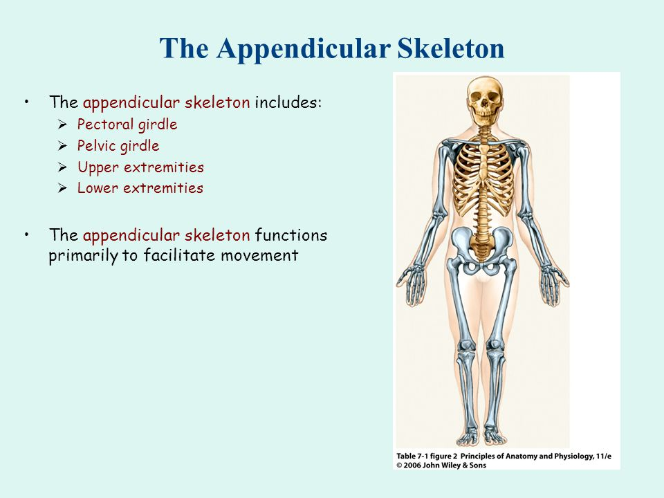 The Appendicular Skeleton The appendicular skeleton includes:  Pectoral girdle  Pelvic girdle  Upper extremities  Lower extremities The appendicular skeleton functions primarily to facilitate movement