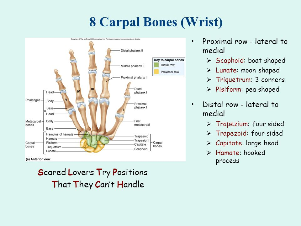 8 Carpal Bones (Wrist) Proximal row - lateral to medial  Scaphoid: boat shaped  Lunate: moon shaped  Triquetrum: 3 corners  Pisiform: pea shaped Distal row - lateral to medial  Trapezium: four sided  Trapezoid: four sided  Capitate: large head  Hamate: hooked process Scared Lovers Try Positions That They Can't Handle