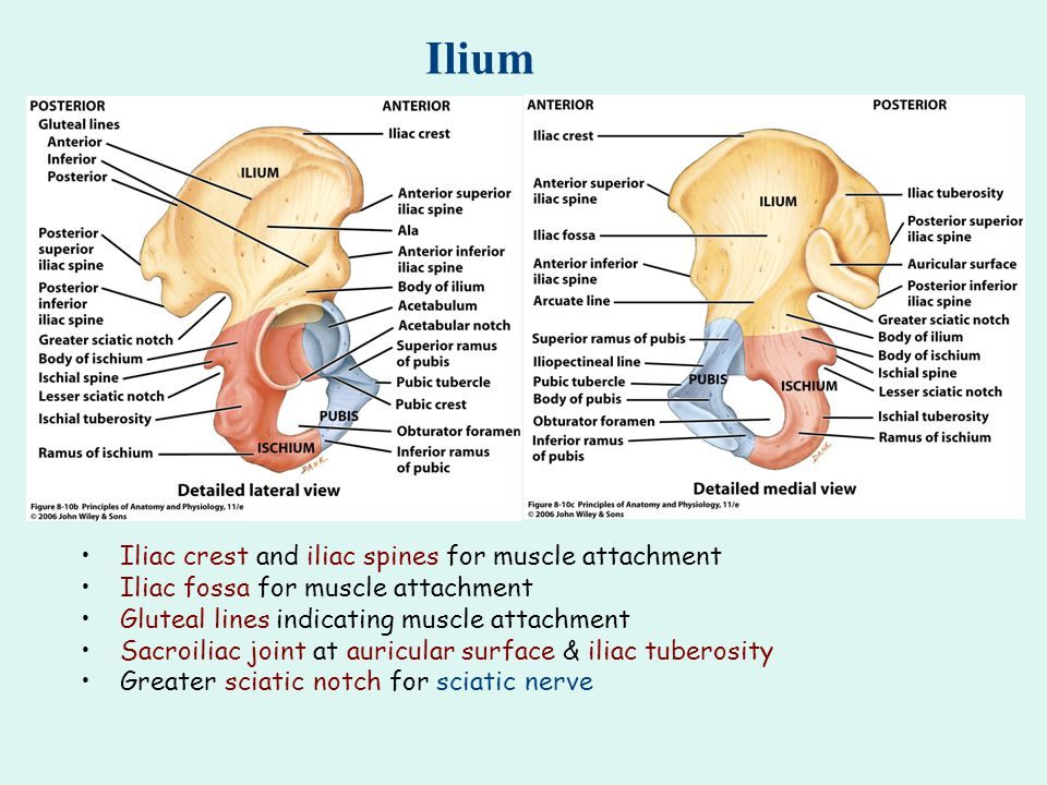 Ilium Iliac crest and iliac spines for muscle attachment Iliac fossa for muscle attachment Gluteal lines indicating muscle attachment Sacroiliac joint at auricular surface & iliac tuberosity Greater sciatic notch for sciatic nerve