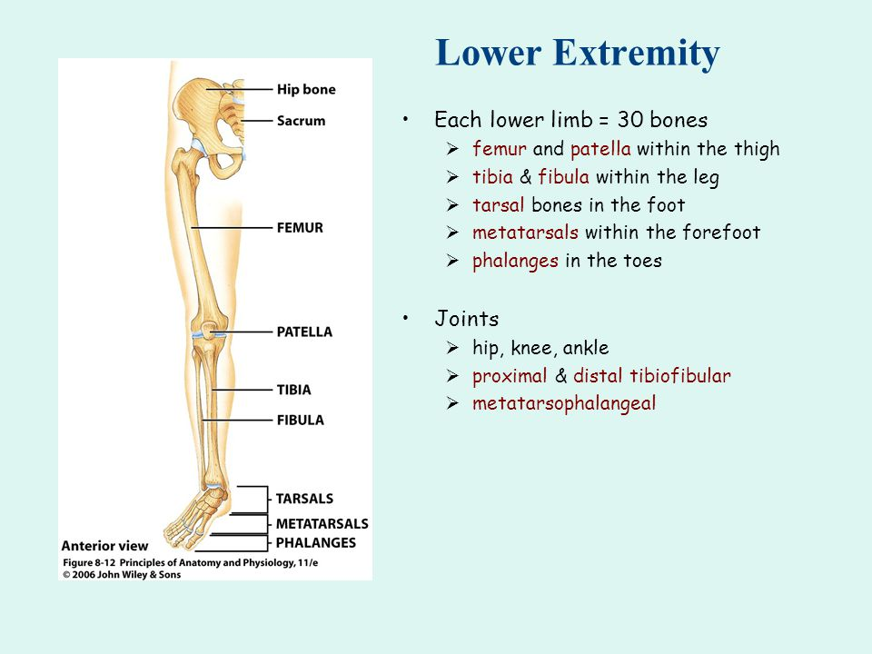 Lower Extremity Each lower limb = 30 bones  femur and patella within the thigh  tibia & fibula within the leg  tarsal bones in the foot  metatarsals within the forefoot  phalanges in the toes Joints  hip, knee, ankle  proximal & distal tibiofibular  metatarsophalangeal