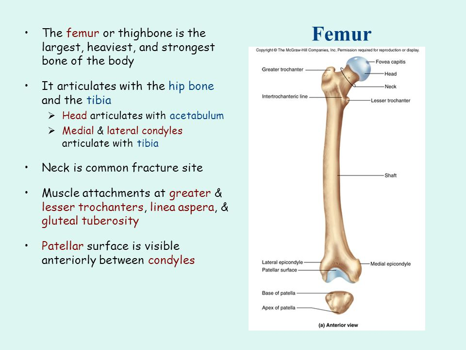 Femur The femur or thighbone is the largest, heaviest, and strongest bone of the body It articulates with the hip bone and the tibia  Head articulates with acetabulum  Medial & lateral condyles articulate with tibia Neck is common fracture site Muscle attachments at greater & lesser trochanters, linea aspera, & gluteal tuberosity Patellar surface is visible anteriorly between condyles
