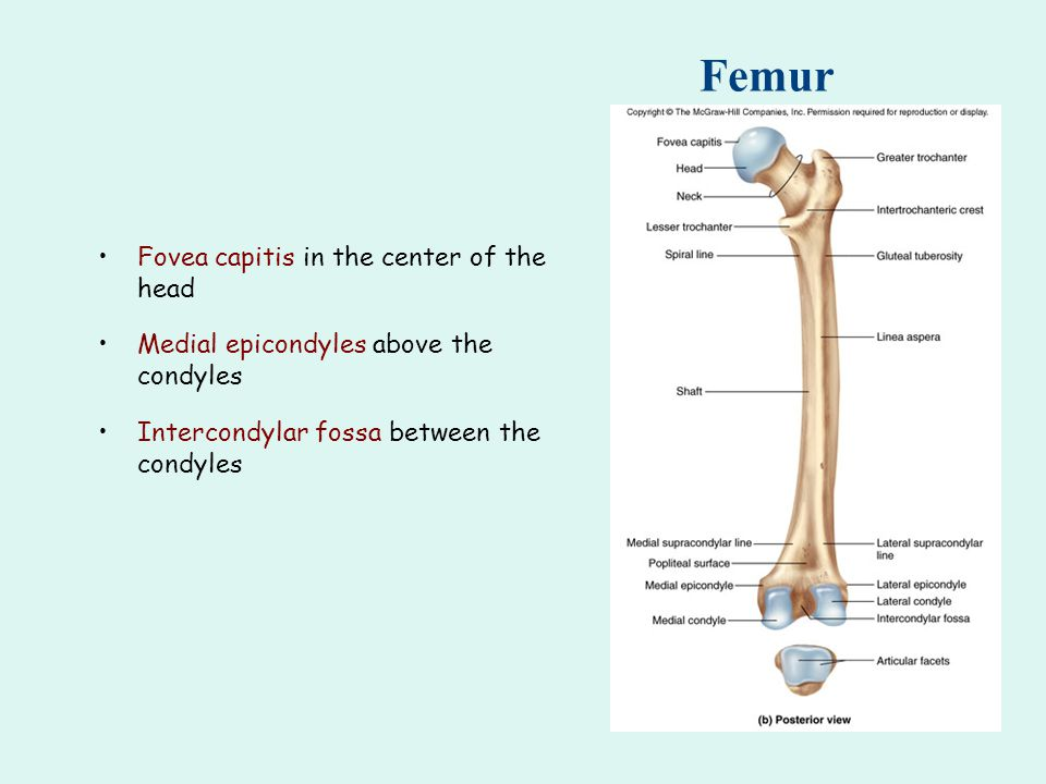 Femur Fovea capitis in the center of the head Medial epicondyles above the condyles Intercondylar fossa between the condyles