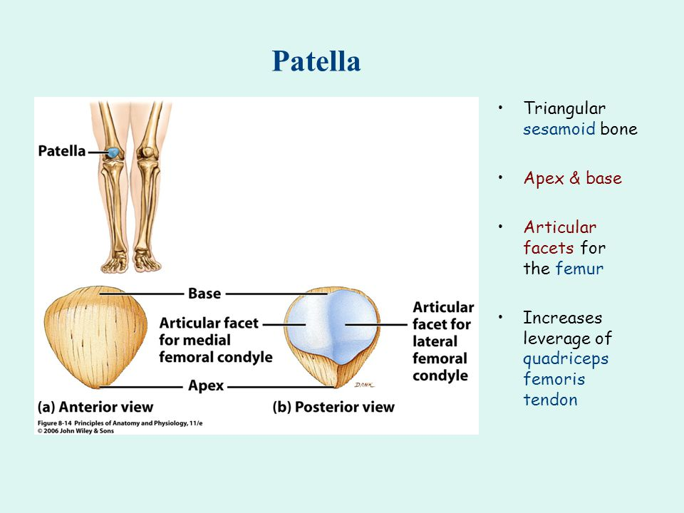 Patella Triangular sesamoid bone Apex & base Articular facets for the femur Increases leverage of quadriceps femoris tendon
