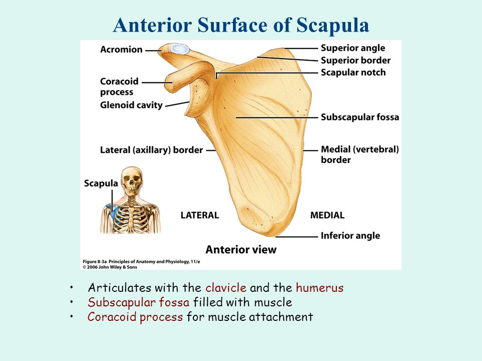 Anterior Surface of Scapula Articulates with the clavicle and the humerus Subscapular fossa filled with muscle Coracoid process for muscle attachment