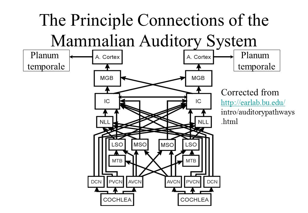The Principle Connections of the Mammalian Auditory System Corrected from http://earlab.bu.edu/ http://earlab.bu.edu/ intro/auditorypathways.html Planum temporale Planum temporale