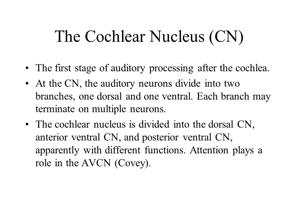 The Cochlear Nucleus (CN) The first stage of auditory processing after the cochlea.