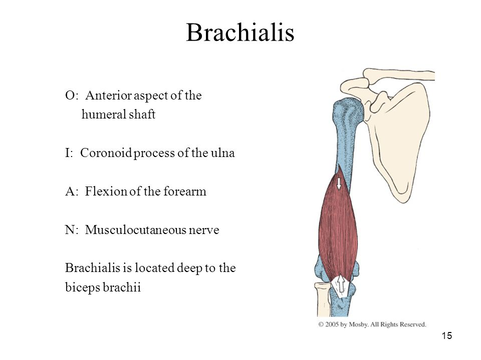 15 Brachialis O: Anterior aspect of the humeral shaft I: Coronoid process of the ulna A: Flexion of the forearm N: Musculocutaneous nerve Brachialis i