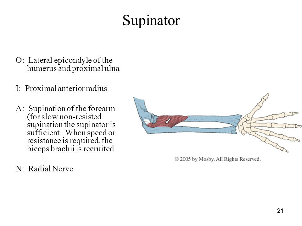 21 Supinator O: Lateral epicondyle of the humerus and proximal ulna I: Proximal anterior radius A: Supination of the forearm (for slow non-resisted su