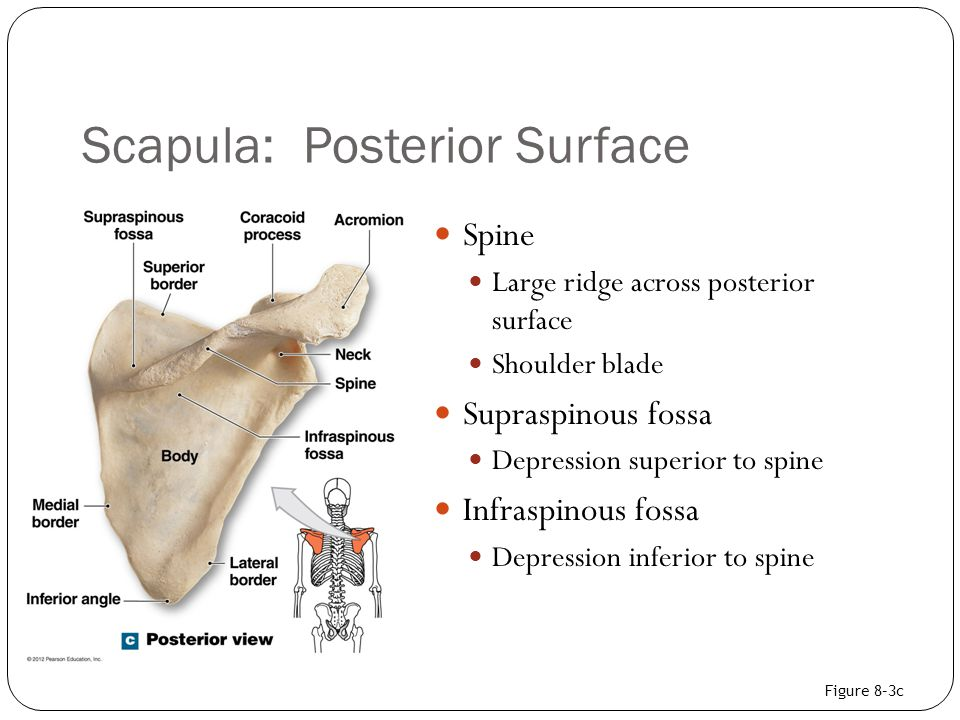 Scapula: Posterior Surface Spine Large ridge across posterior surface Shoulder blade Supraspinous fossa Depression superior to spine Infraspinous foss