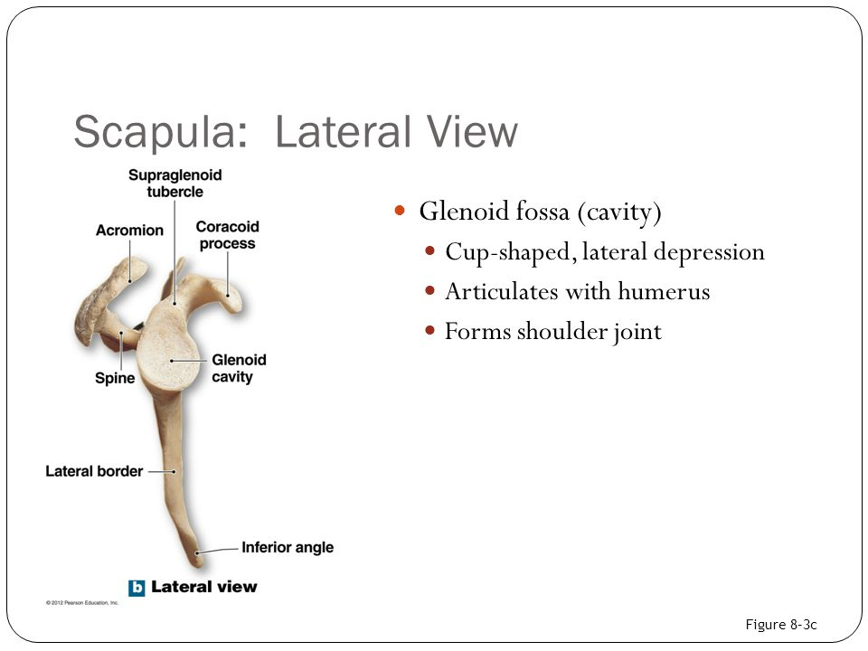 Scapula: Lateral View Glenoid fossa (cavity) Cup-shaped, lateral depression Articulates with humerus Forms shoulder joint Figure 8–3c