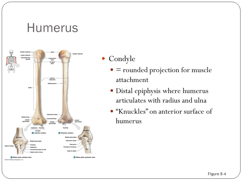 "Humerus Condyle = rounded projection for muscle attachment Distal epiphysis where humerus articulates with radius and ulna ""Knuckles"" on anterior surf"