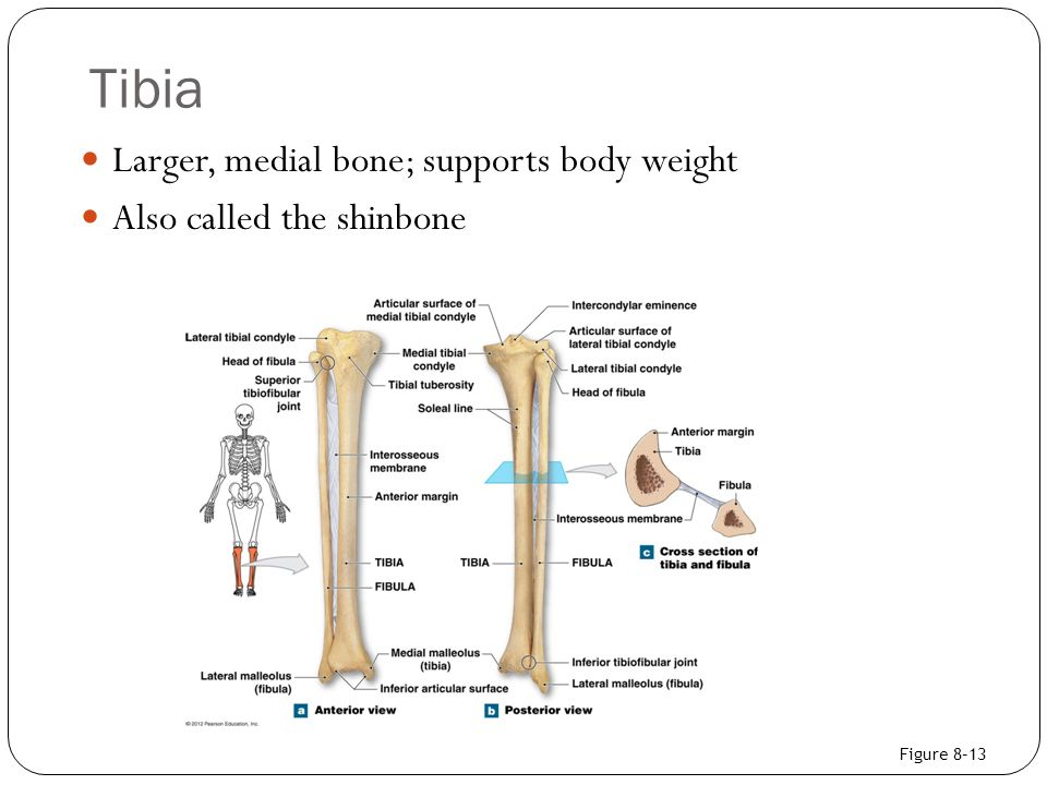 Tibia Larger, medial bone; supports body weight Also called the shinbone Figure 8–13
