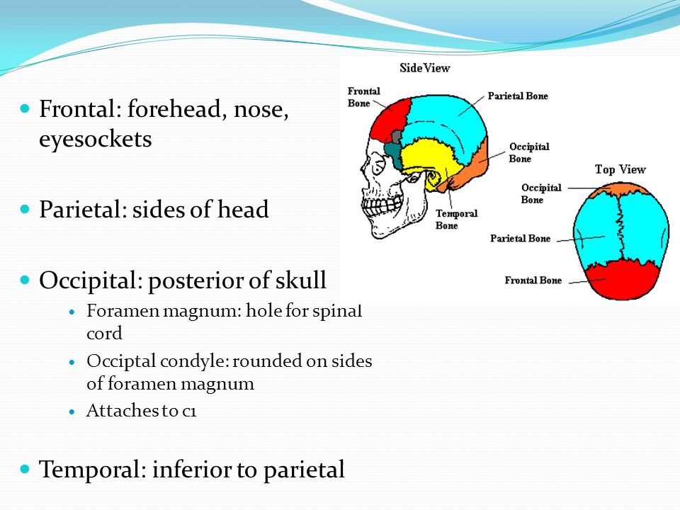 Frontal: forehead, nose, eyesockets Parietal: sides of head Occipital: posterior of skull Foramen magnum: hole for spinal cord Occiptal condyle: round