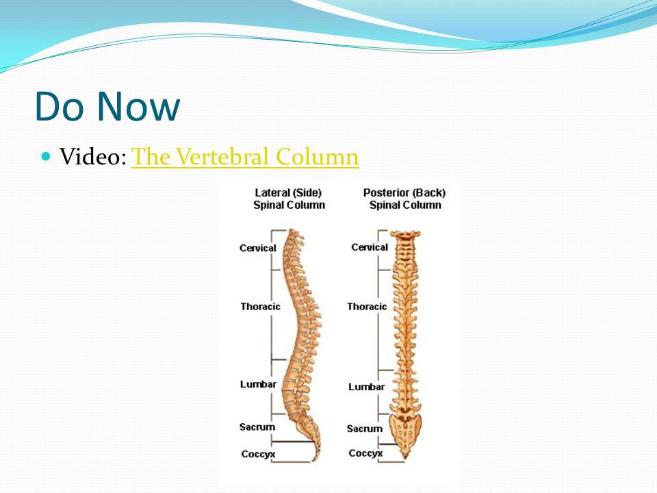 Do Now Video: The Vertebral ColumnThe Vertebral Column