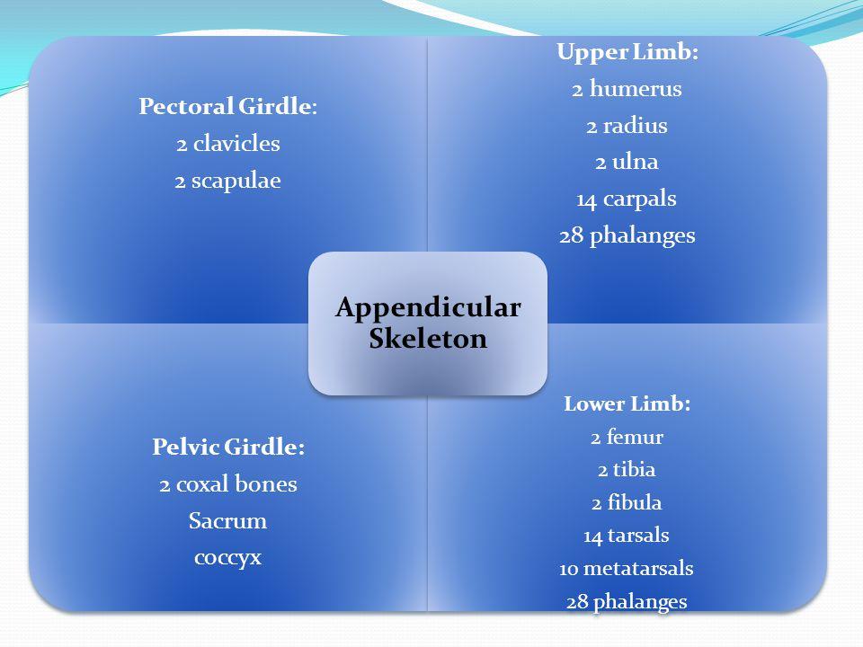Pectoral Girdle: 2 clavicles 2 scapulae Upper Limb: 2 humerus 2 radius 2 ulna 14 carpals 28 phalanges Pelvic Girdle: 2 coxal bones Sacrum coccyx Lower