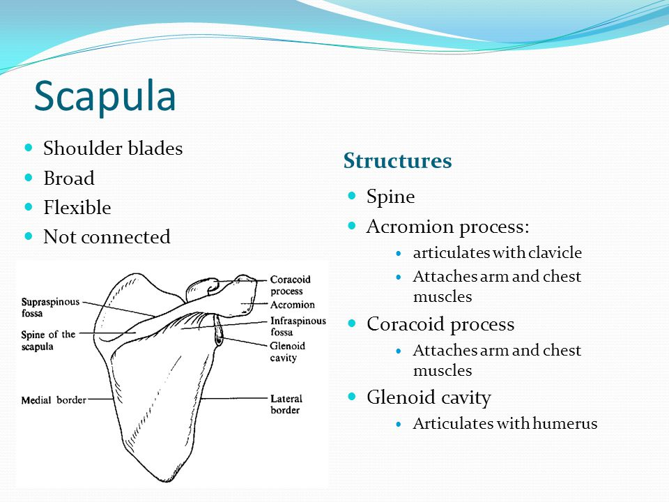 Scapula Structures Shoulder blades Broad Flexible Not connected Spine Acromion process: articulates with clavicle Attaches arm and chest muscles Corac
