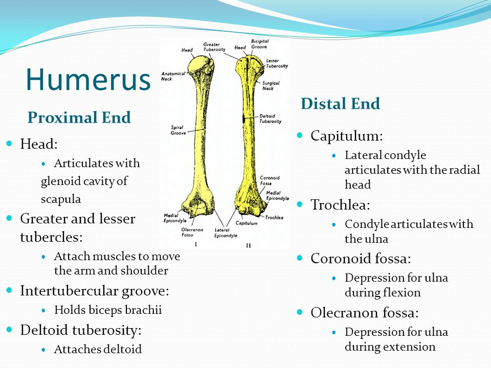 Humerus Proximal End Distal End Head: Articulates with glenoid cavity of scapula Greater and lesser tubercles: Attach muscles to move the arm and shou