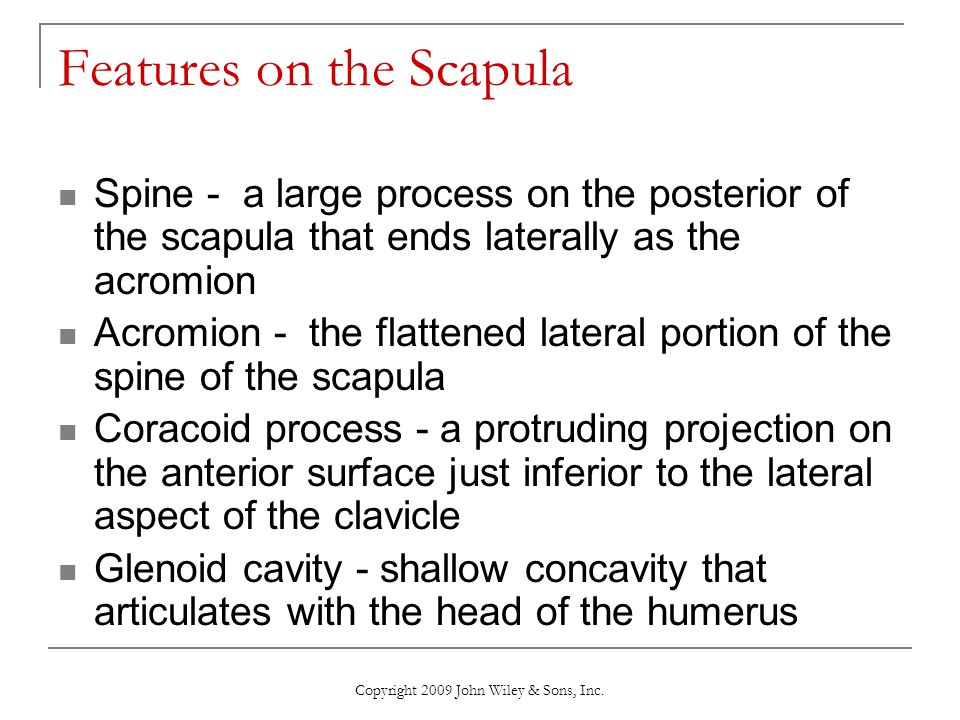 Copyright 2009 John Wiley & Sons, Inc. Features on the Scapula Spine - a large process on the posterior of the scapula that ends laterally as the acro