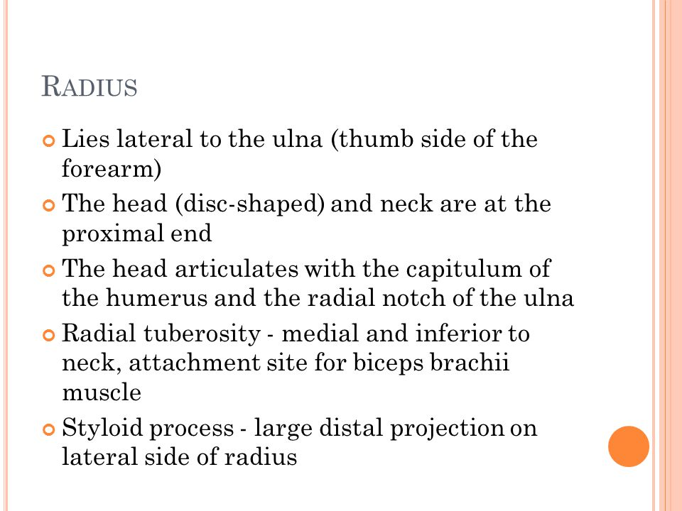 R ADIUS Lies lateral to the ulna (thumb side of the forearm) The head (disc-shaped) and neck are at the proximal end The head articulates with the capitulum of the humerus and the radial notch of the ulna Radial tuberosity - medial and inferior to neck, attachment site for biceps brachii muscle Styloid process - large distal projection on lateral side of radius