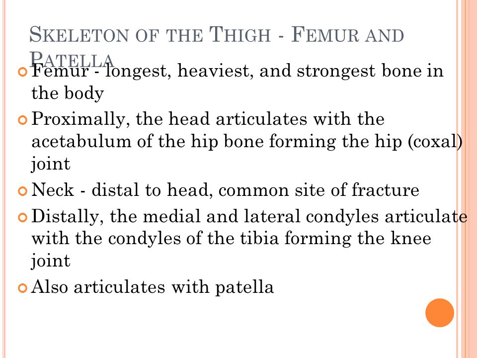 S KELETON OF THE T HIGH - F EMUR AND P ATELLA Femur - longest, heaviest, and strongest bone in the body Proximally, the head articulates with the acetabulum of the hip bone forming the hip (coxal) joint Neck - distal to head, common site of fracture Distally, the medial and lateral condyles articulate with the condyles of the tibia forming the knee joint Also articulates with patella