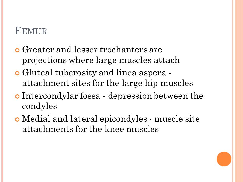 F EMUR Greater and lesser trochanters are projections where large muscles attach Gluteal tuberosity and linea aspera - attachment sites for the large hip muscles Intercondylar fossa - depression between the condyles Medial and lateral epicondyles - muscle site attachments for the knee muscles