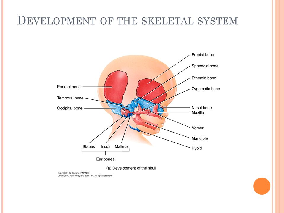 D EVELOPMENT OF THE SKELETAL SYSTEM