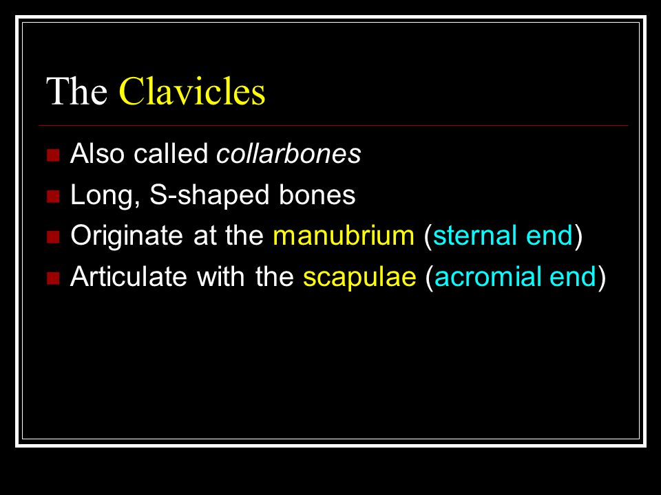 The Clavicles Also called collarbones Long, S-shaped bones Originate at the manubrium (sternal end) Articulate with the scapulae (acromial end)