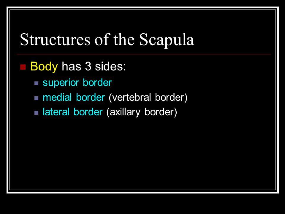 Structures of the Scapula Body has 3 sides: superior border medial border (vertebral border) lateral border (axillary border)