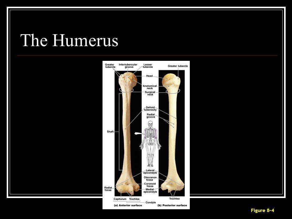 The Humerus Figure 8–4
