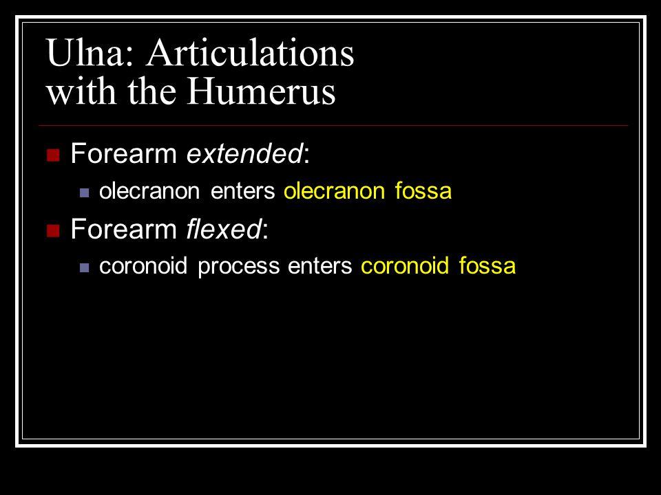 Ulna: Articulations with the Humerus Forearm extended: olecranon enters olecranon fossa Forearm flexed: coronoid process enters coronoid fossa