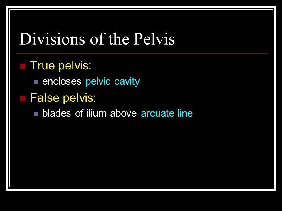 Divisions of the Pelvis True pelvis: encloses pelvic cavity False pelvis: blades of ilium above arcuate line