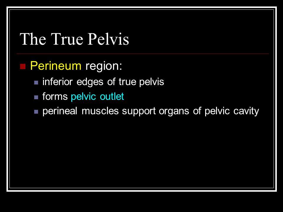 The True Pelvis Perineum region: inferior edges of true pelvis forms pelvic outlet perineal muscles support organs of pelvic cavity