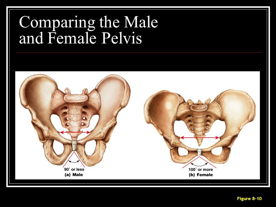 Comparing the Male and Female Pelvis Figure 8–10
