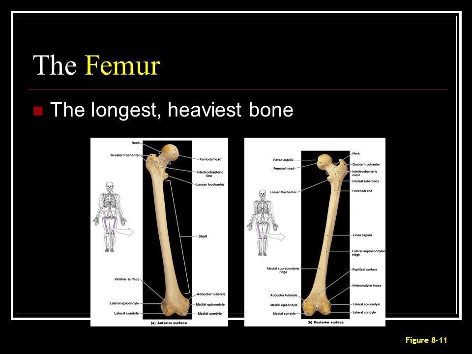 The Femur The longest, heaviest bone Figure 8–11