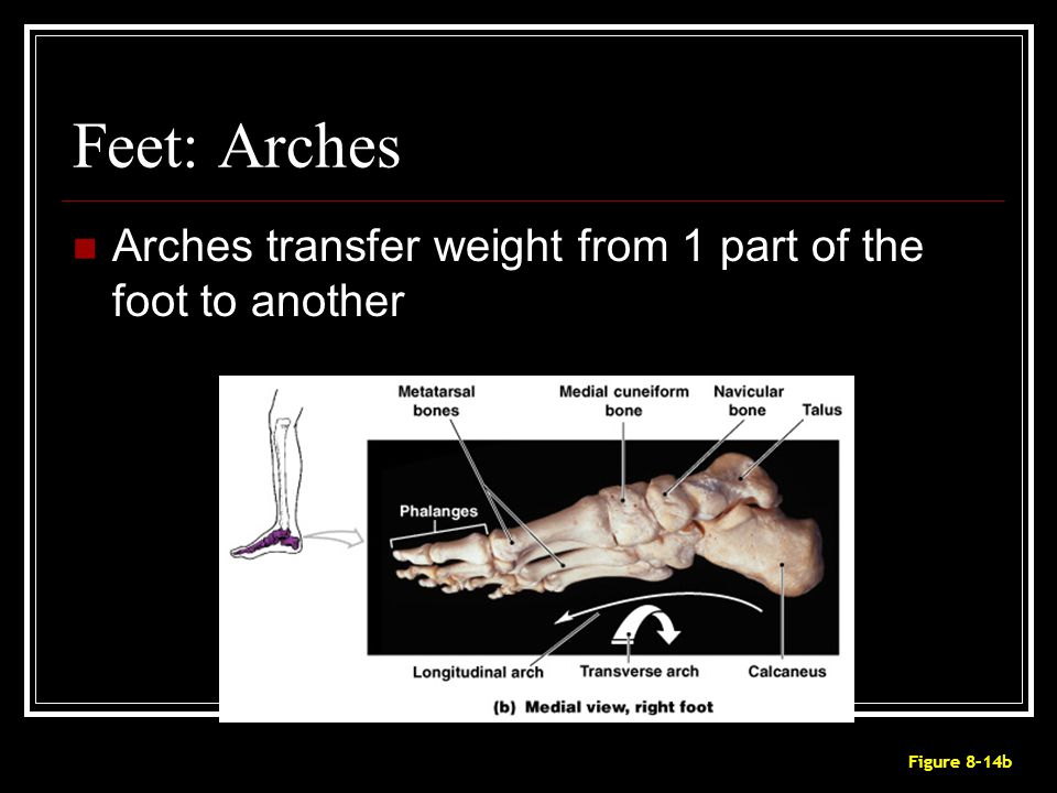 Feet: Arches Arches transfer weight from 1 part of the foot to another Figure 8–14b