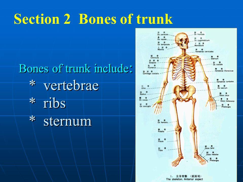 1 Section 2 Bones of trunk Bones of trunk include : * vertebrae * ribs * sternum