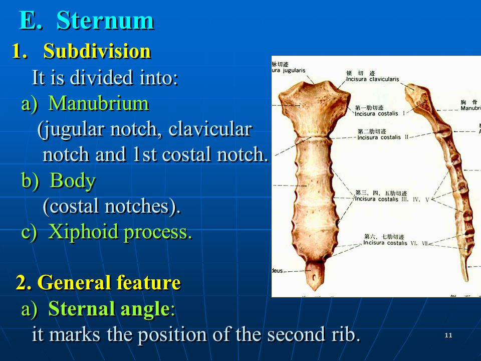 11 E. Sternum 1. Subdivision It is divided into: a) Manubrium (jugular notch, clavicular notch and 1st costal notch. b) Body (costal notches). c) Xiph