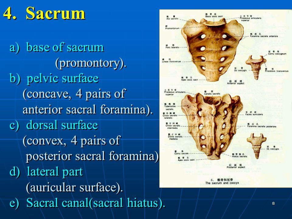 8 4. Sacrum a) base of sacrum (promontory). b) pelvic surface (concave, 4 pairs of anterior sacral foramina). c) dorsal surface (convex, 4 pairs of po