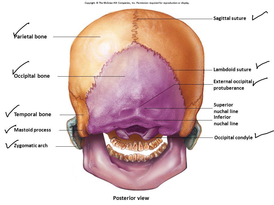 Parietal bone Occipital bone Temporal bone Mastoid process Zygomatic arch Lambdoid suture Occipital condyle Sagittal suture Posterior view External oc