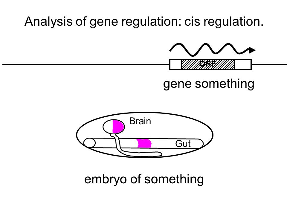 Gut Brain Analysis of gene regulation: cis regulation. gene something embryo of something ORF